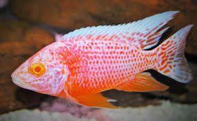 GB MALAWI Aulonacara strawberry RED albino F1 - PYSZCZAKI