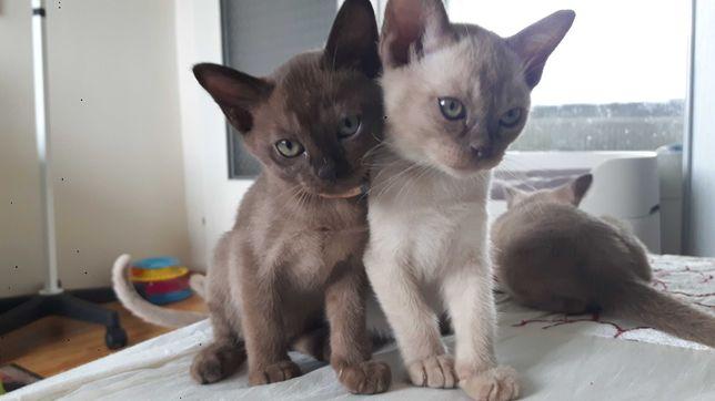 Kocięta burmskie BURMA