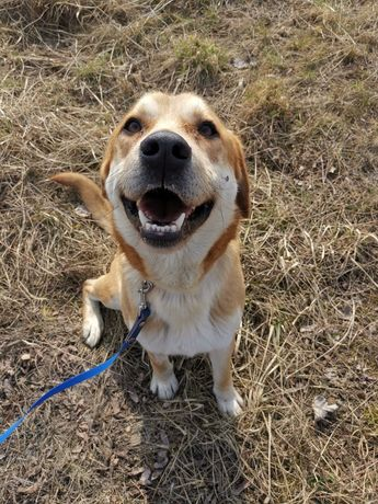 Fergus pies w typie labradora szuka domu