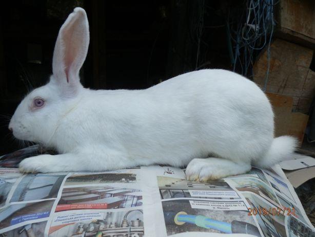 Продам кроликів термонців, нзб, нзк, каліф, строкач, венскі.