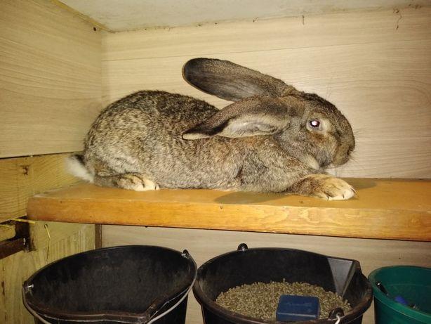 Samiczka króliki
