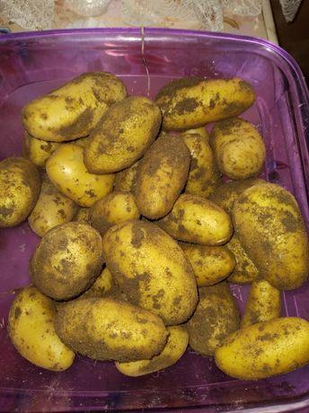Ziemniaki młode,ekologiczne
