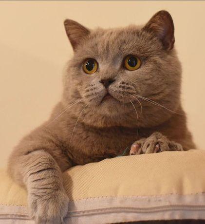 Кот британец Пончик - ищет семью