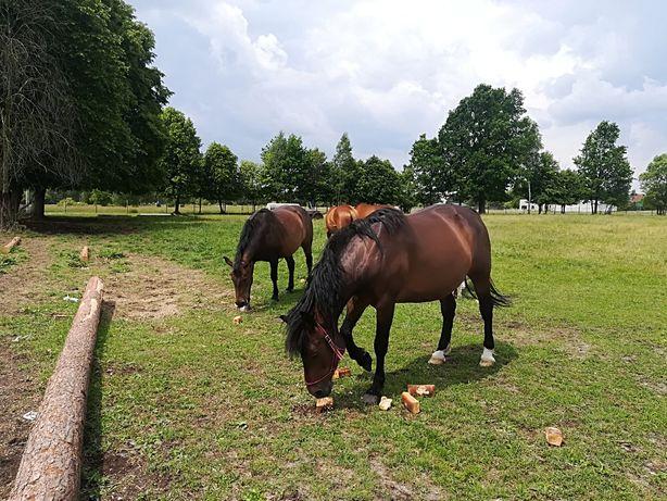 Sprzedam konie sportowe do rekreacji