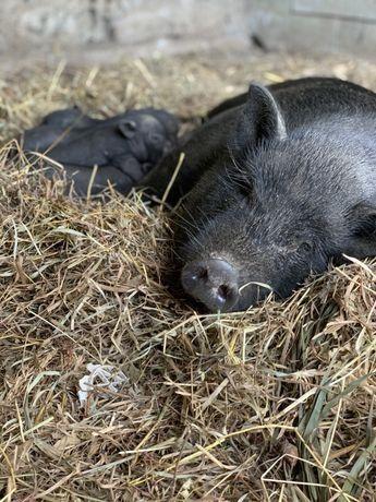 Porcos vietnamitas