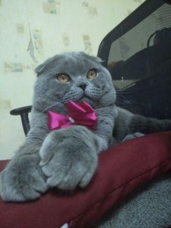 Шотландский вислоухий кот ,ВЯЗКА