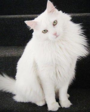 Кот, метис ангора