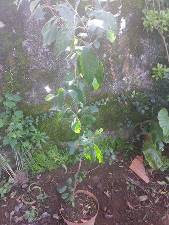 Feijoa - fruto tropical