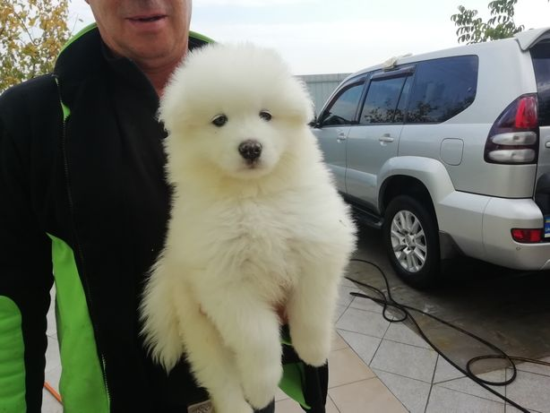 Купить щенка. Самоедская собака.
