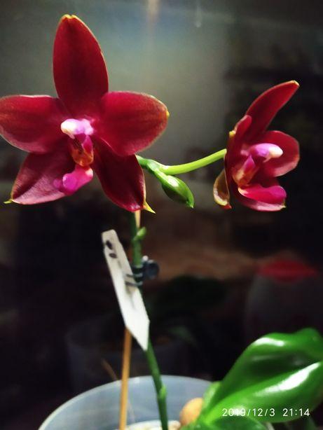 Продам орхидею сортовый восковичек