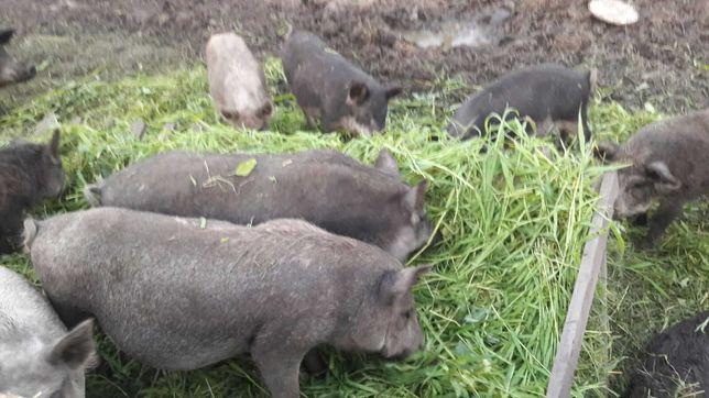 Продам свиней мангалы кабан поросята самки
