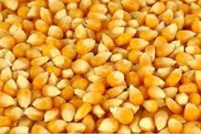 Kukurydza, tegoroczna, sucha