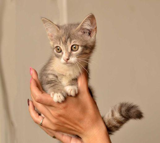 Сима, 2 месяца, ищет своего Человека, котенок в добрые руки!