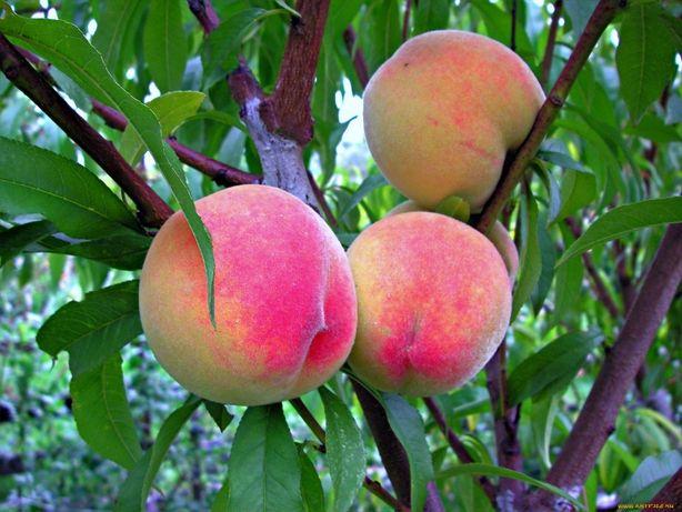 Саженцы фруктовых деревьев.