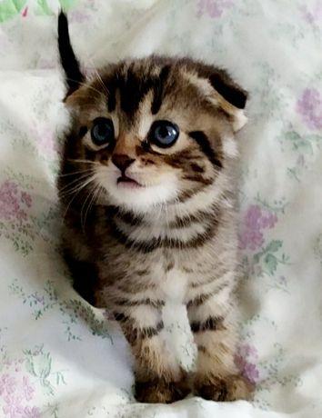 Британские мраморные котята