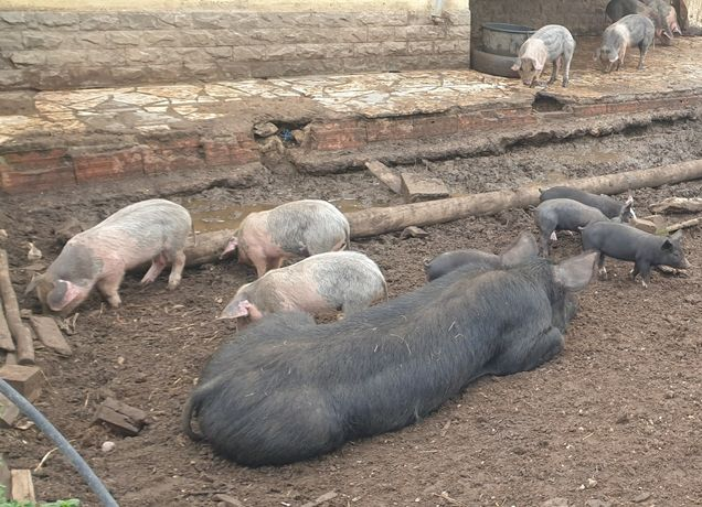 Leitões cruzados bisaro com porco preto