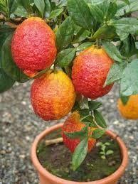 Лимон РОССО (Красный лимон) Комнатный