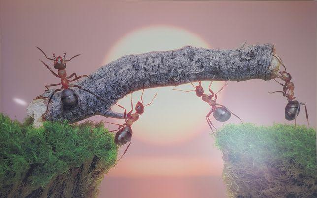 Obraz mrówki XXL