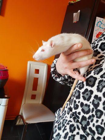 Pilnie sprzedam  !Szczurek 4 ,5 miesieczny
