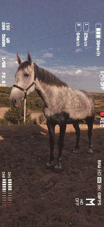 Vendo Égua grande, muito mansa, boa cabeça,ideal para aulas e passeios