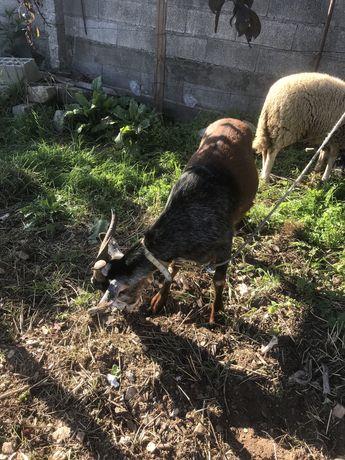 Vendo cabra caseira