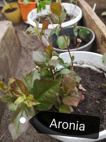 Aronia sadzonka krzew