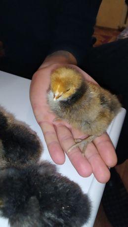 Курчата породи Орпінгтон золотоокаймльонний