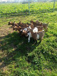 Cabras anãs minis