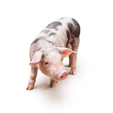 Dodatki paszowe dla trzody, prosiąt, świń - na biegunkę, kanibalizm...