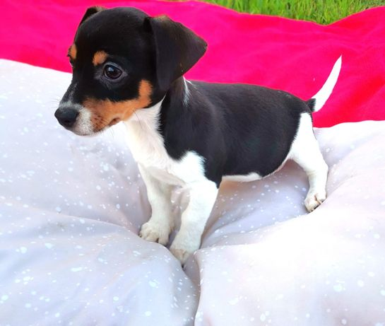 Lindos Jack Russell Terrier