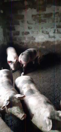 Продам свиней беконной породы!!!