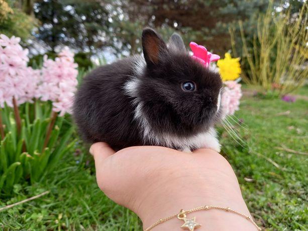 A1 króliczek TEDDY KARZEŁEK królik JEDEN z NAJMNIEJSZYCH w PL wyprawka