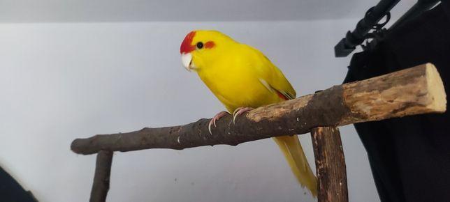OSWOJONA papuga nimfa, samczyk z 2020roku. Zamiana na inną
