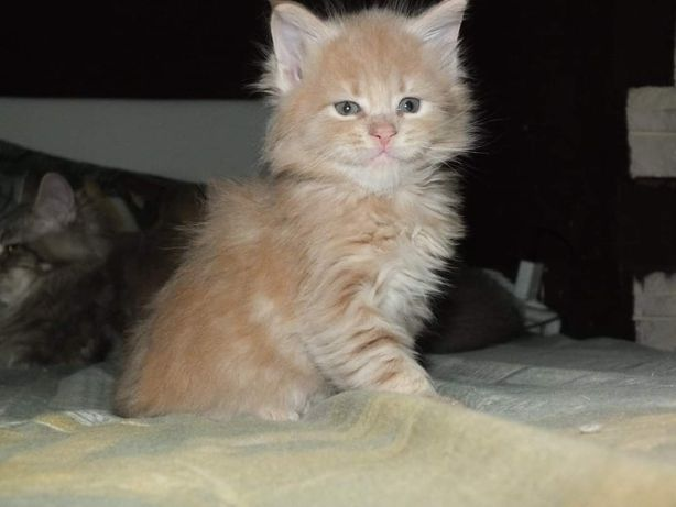 Кремовый котик мейн кунчик