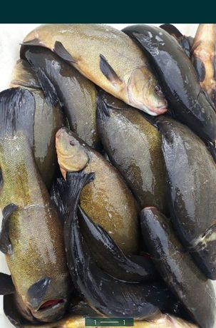 Ryby świeże sandacz lin szczupak i wiele innych