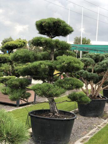 Bonsai klon palmowy bambus bluszcz