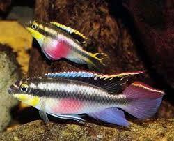 Ryby do akwarium - Barwniak czerwonobrzuchy - hodowla