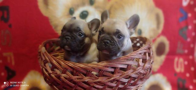 Два малыша французика