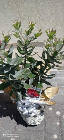 Protea Aoyba Red em vaso