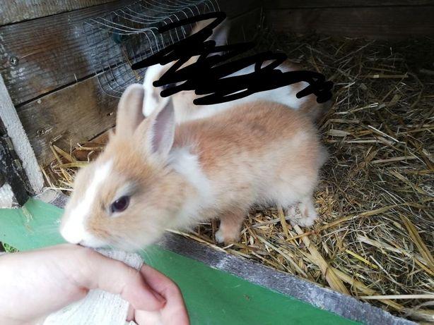 Mały króliczek karzełek tedy