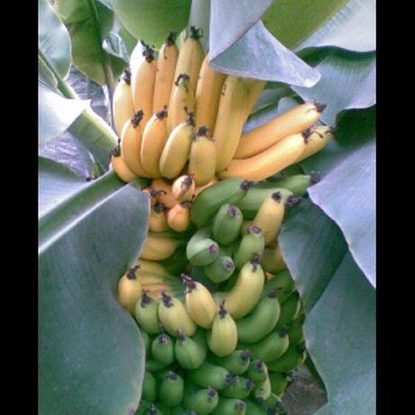 Продам росточки комнатного банана киевскийСуперКарлик