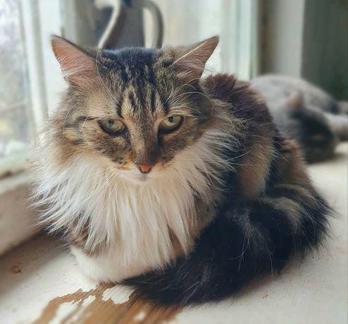 Кошка котенок пушистая длиношерстная метис норвежская лесная сибирская