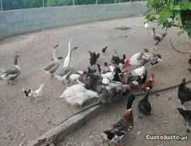 Patos galinhas cordonizes ovos várias rassas  caseiros