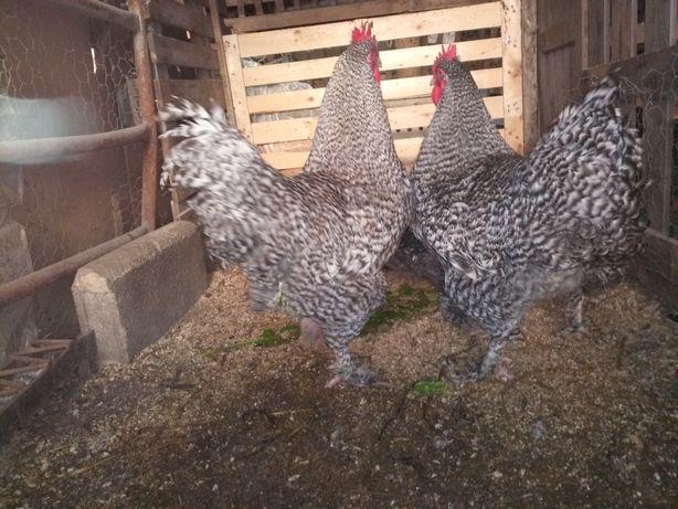 Ovos Malines animais importados com Certificado