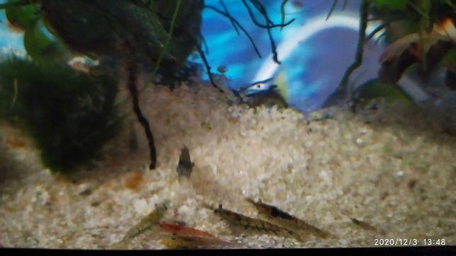Креветки аквариумные