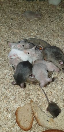 Myszy przychów domowy...