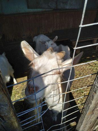Продам дійну козу первачку