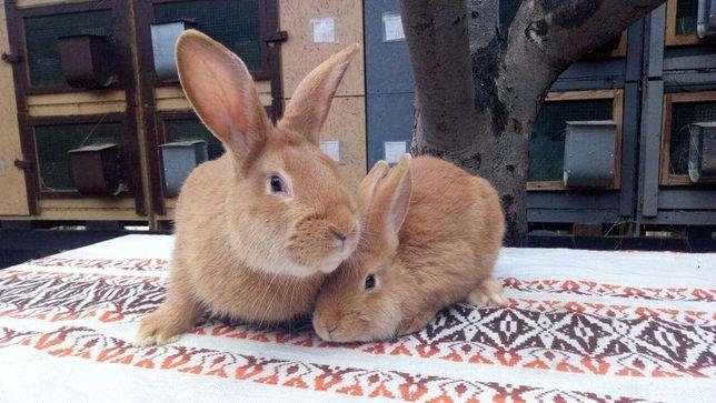 Кролики породы Бургундский