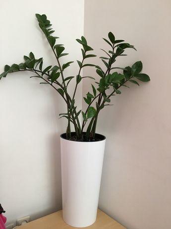 roślinę doniczkową Zamiokulkas