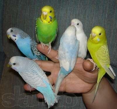 Волнистые попугаи яркого окраса.